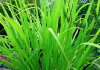 huile esentielle palmarosa