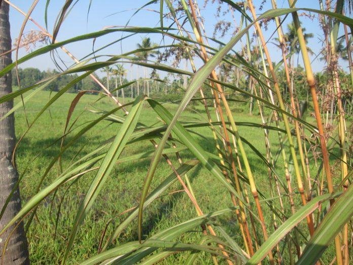 Huile essentielle lemongrass