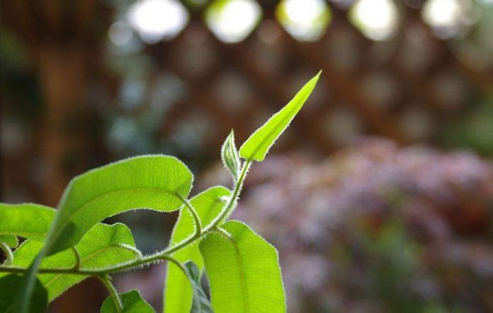 huile esentielle eucalyptus citronnée