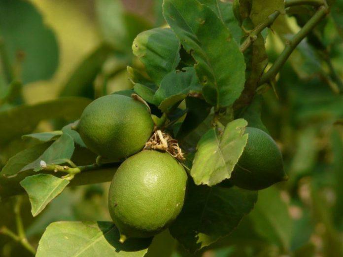 huile essentielle de lime