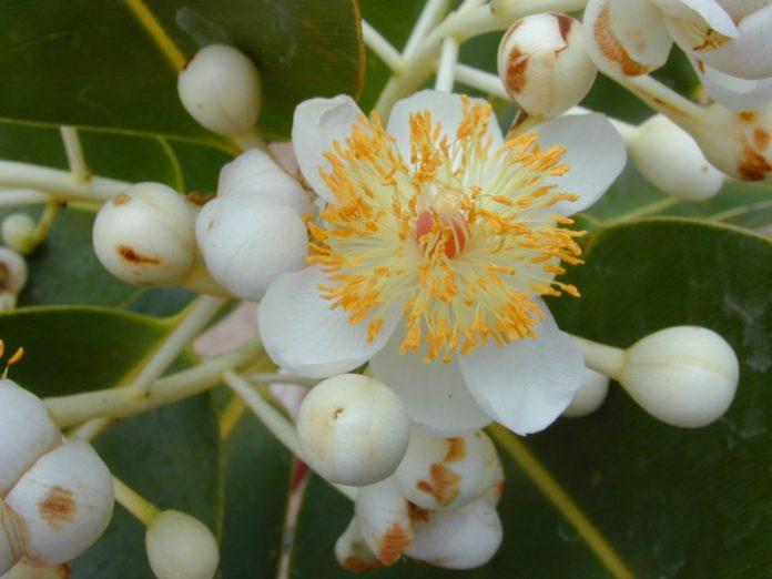 Huile Végétale Calophyllum