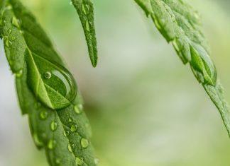 Huile végétale de cannabis
