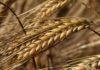 huile végétale germe de blé
