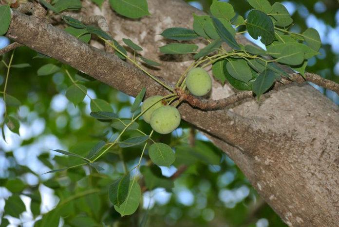 Huile végétale de Marula