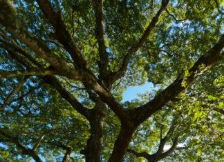 Huile essentielle Baume de Copahu