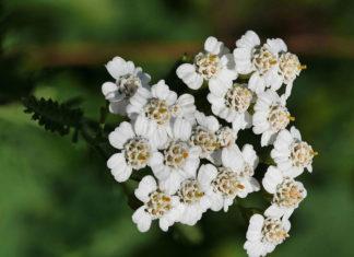 Huile Achillea millefolium