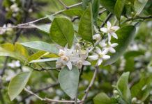 Eau florale de Fleur d'Oranger