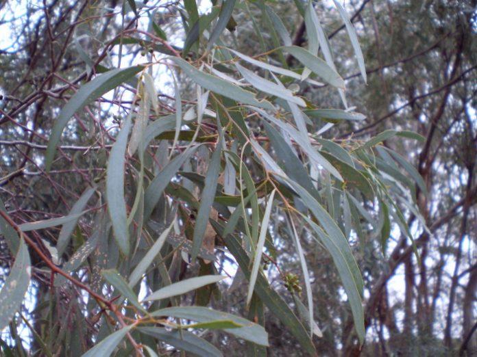 huile essentielle eucalyptus cryptone