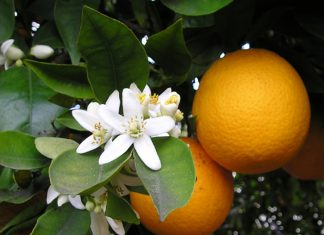 huile esentielle orange douce