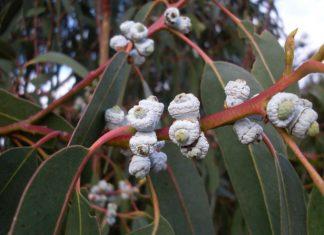 huile esentielle eucalyptus globuleux