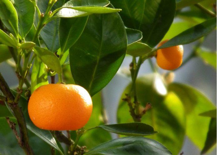 huile essentielle mandarine