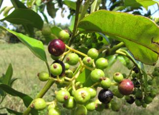 huile essentielle piment jamaique