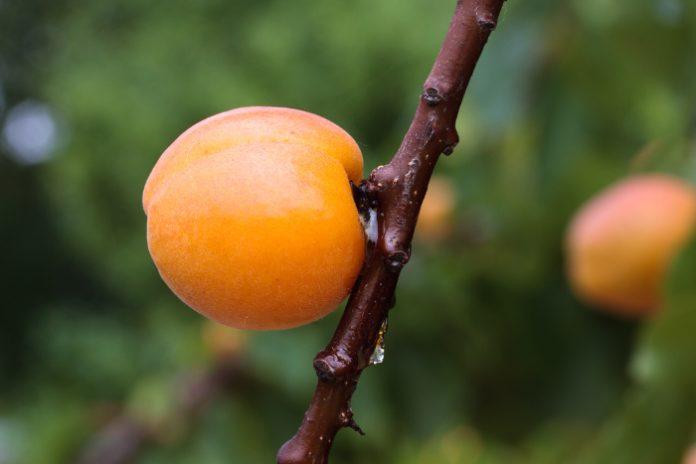 huile végétale noyau abricot