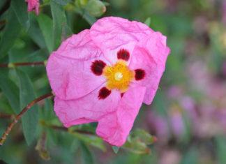 huile rosa mosqueta
