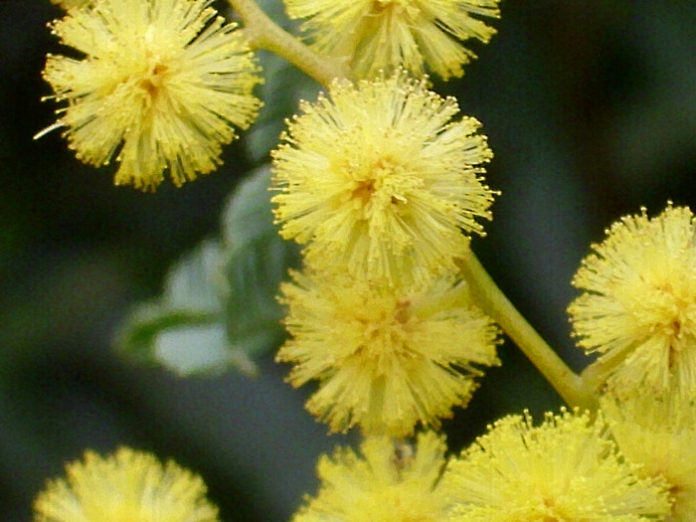 huile essentielle de mimosa