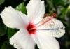 huile vegetale hibiscus