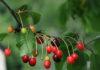 Huile végétale de Noyaux de Cerise