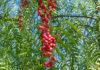 Huile essentielle de Baies Roses