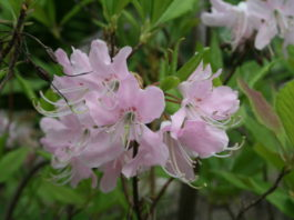 Rhododendron anthopogon